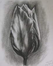 Tulip study, May 13, 2011, charcoal on paper